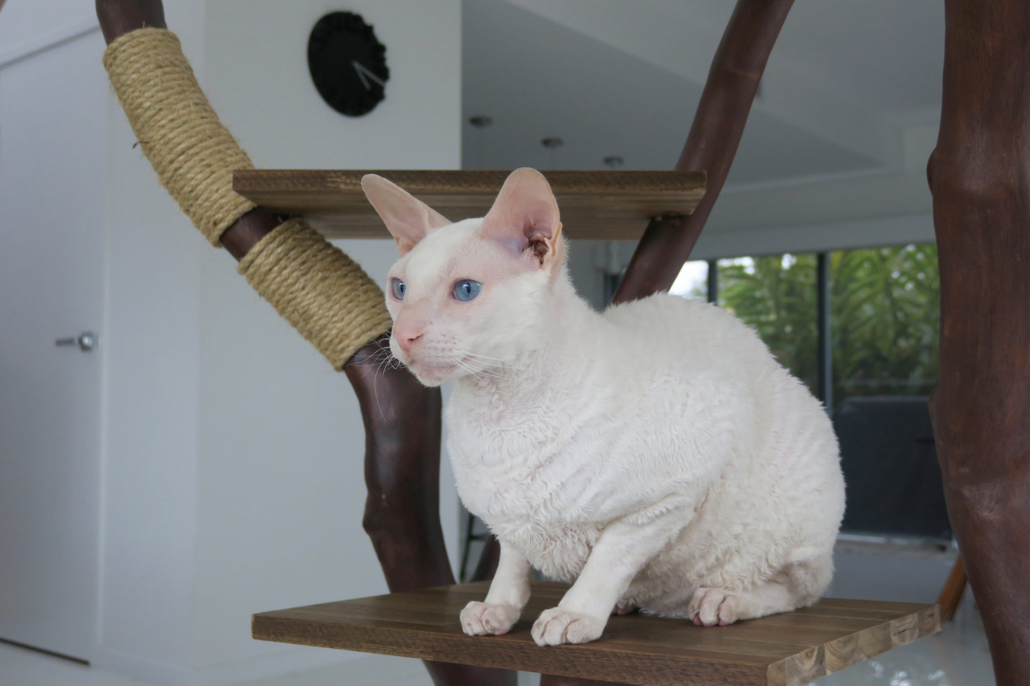 Gandalf the deaf adventure cat perched in cat tree