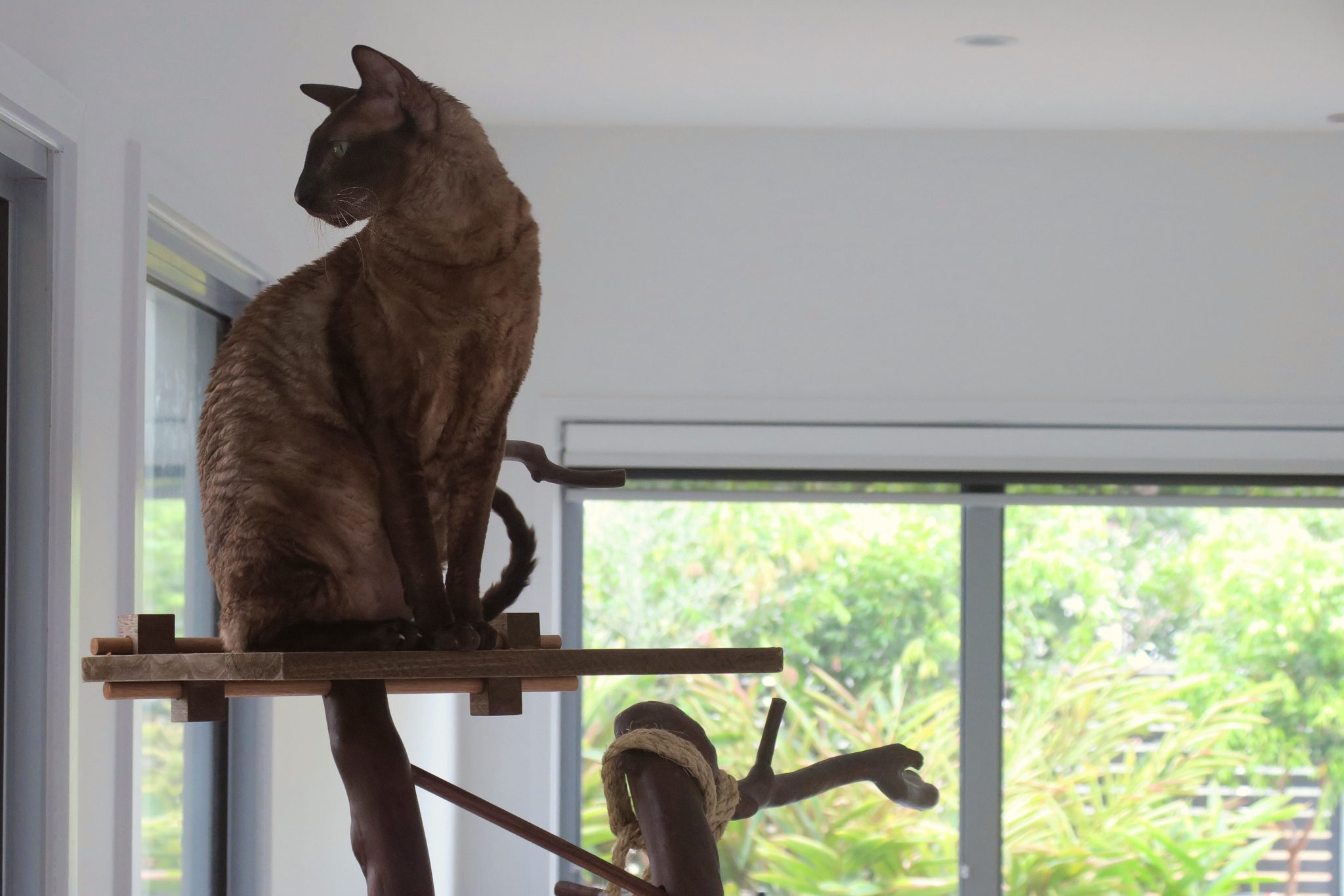 Cornish rex sits at the top of homemade cat tree in Australia