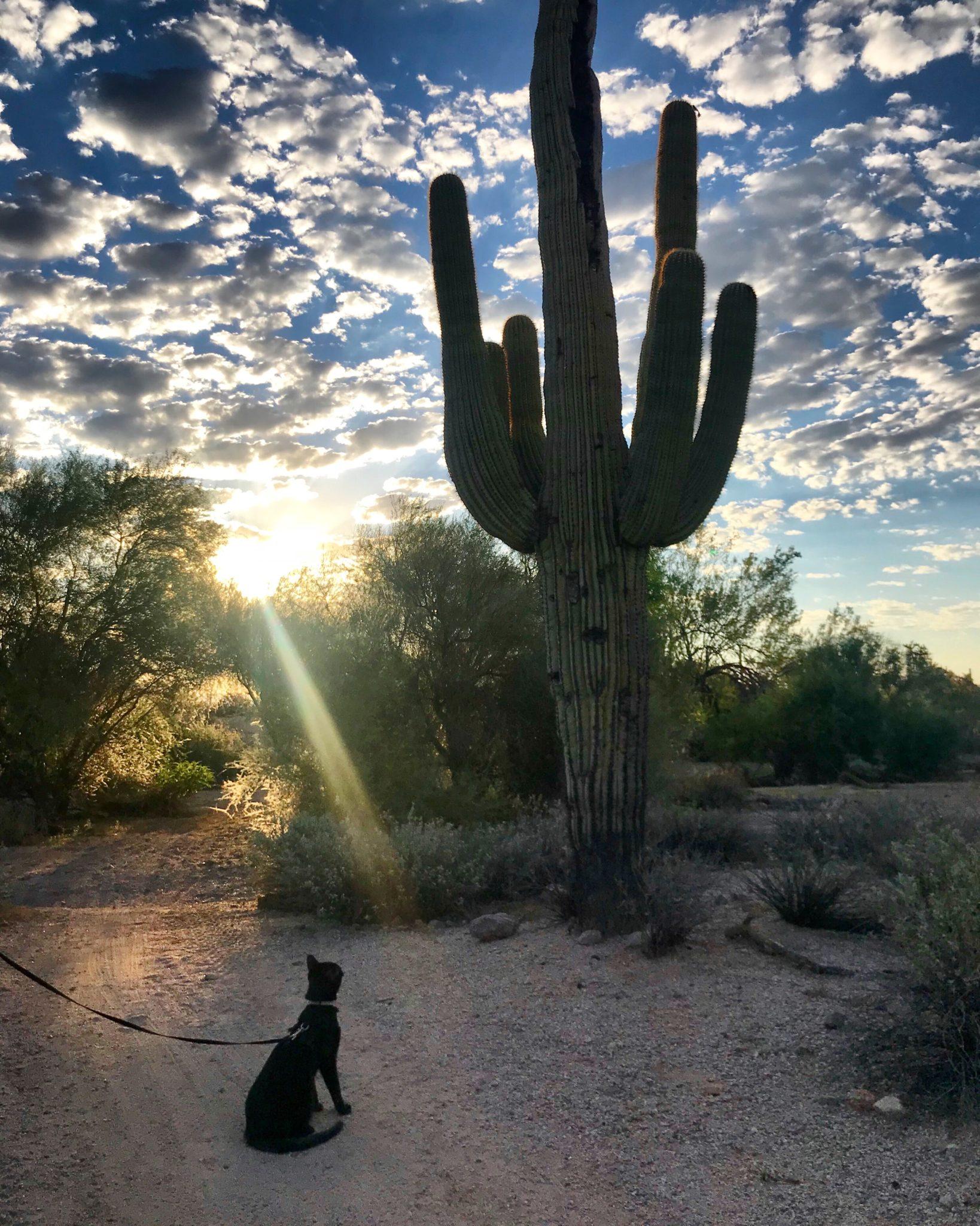 Cash the adventure cat checks out a saguaro cactus
