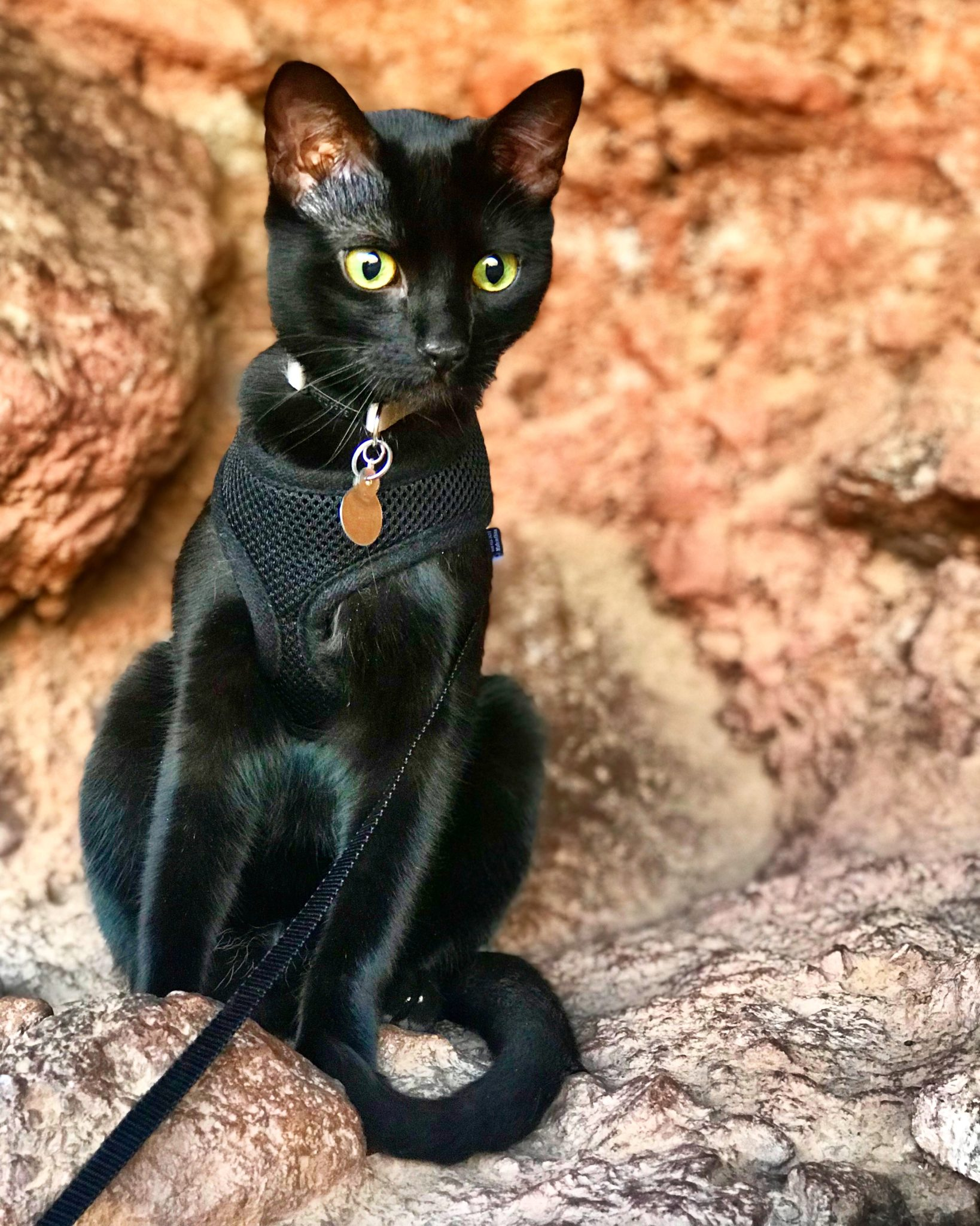 Cash adventure cat poses on Arizona rocks