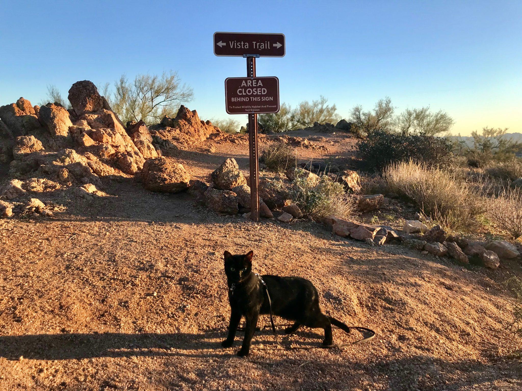 black adventure cat on leash in desert