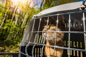 tabby cat being transported outside in carrier