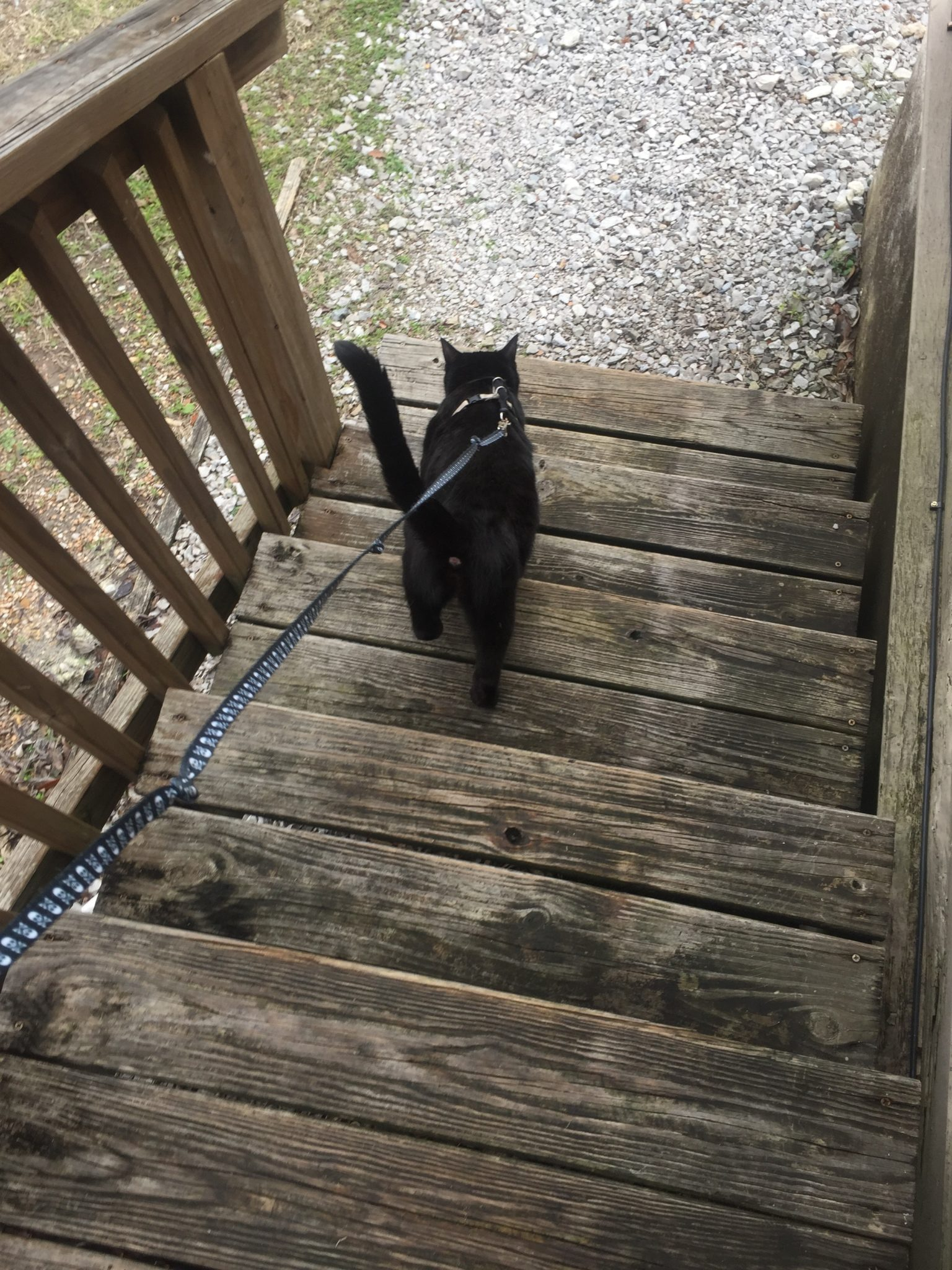 Figaro walks down steps on his way to the yard