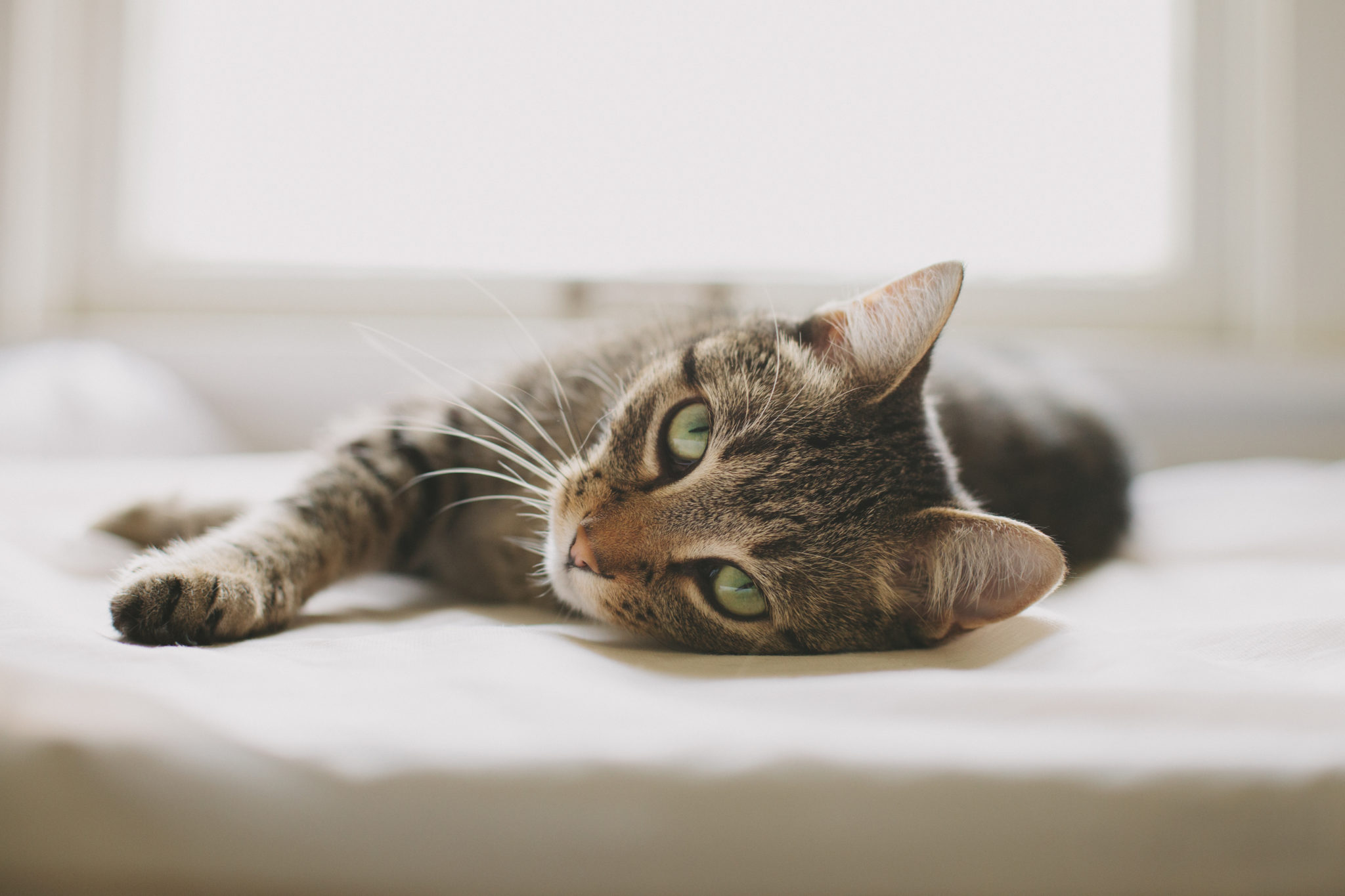 tabby cat lying on couch