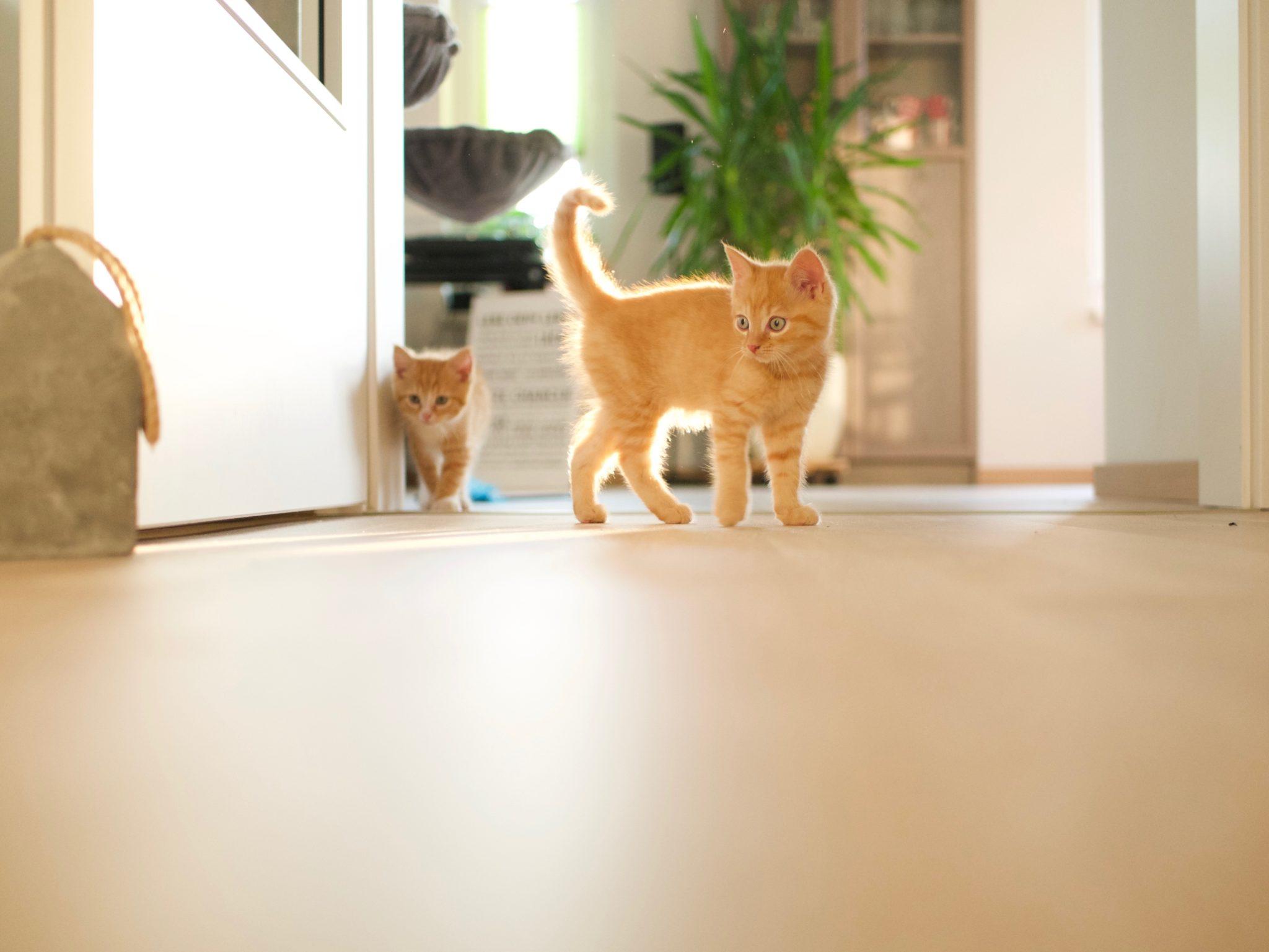 orange tabby kittens playing in hallway