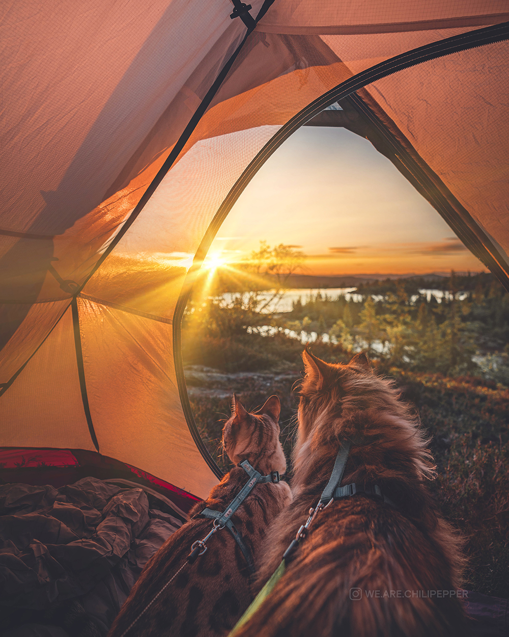 two cats in tent